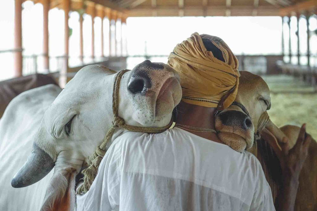ISKCON Cow Donation